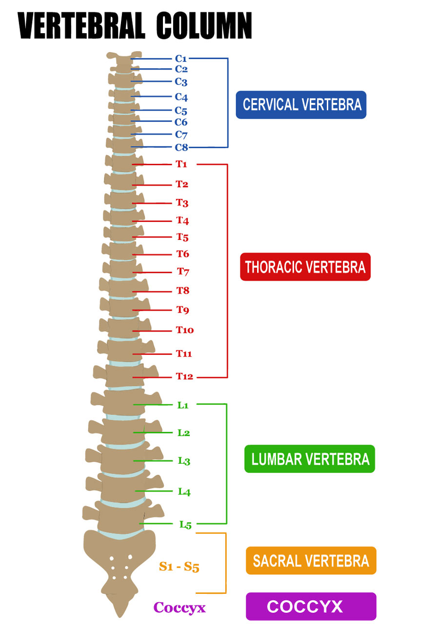 medical diagram showing human vertebral column with spinal cord regions